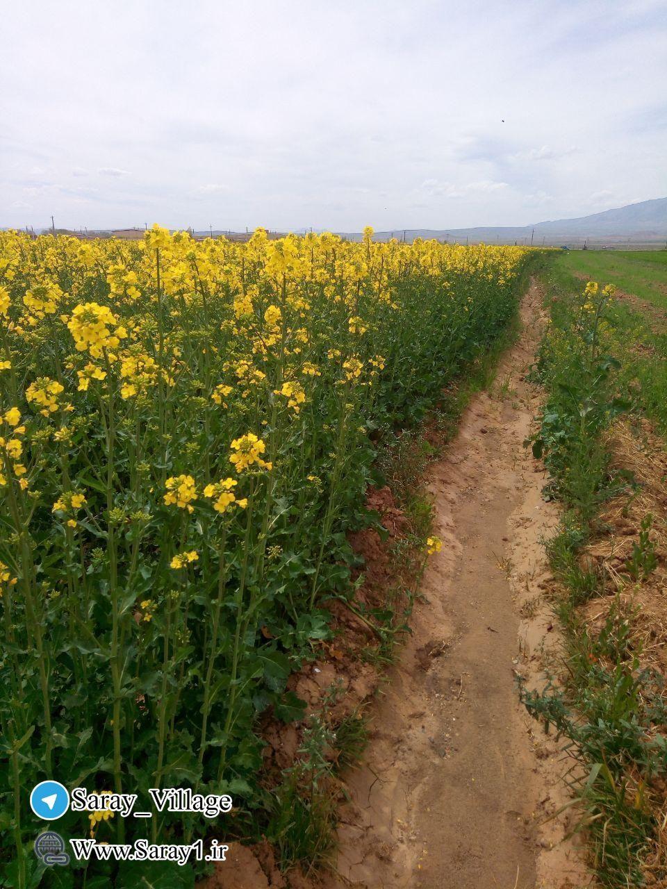 کاشت کلزا روستای سرای